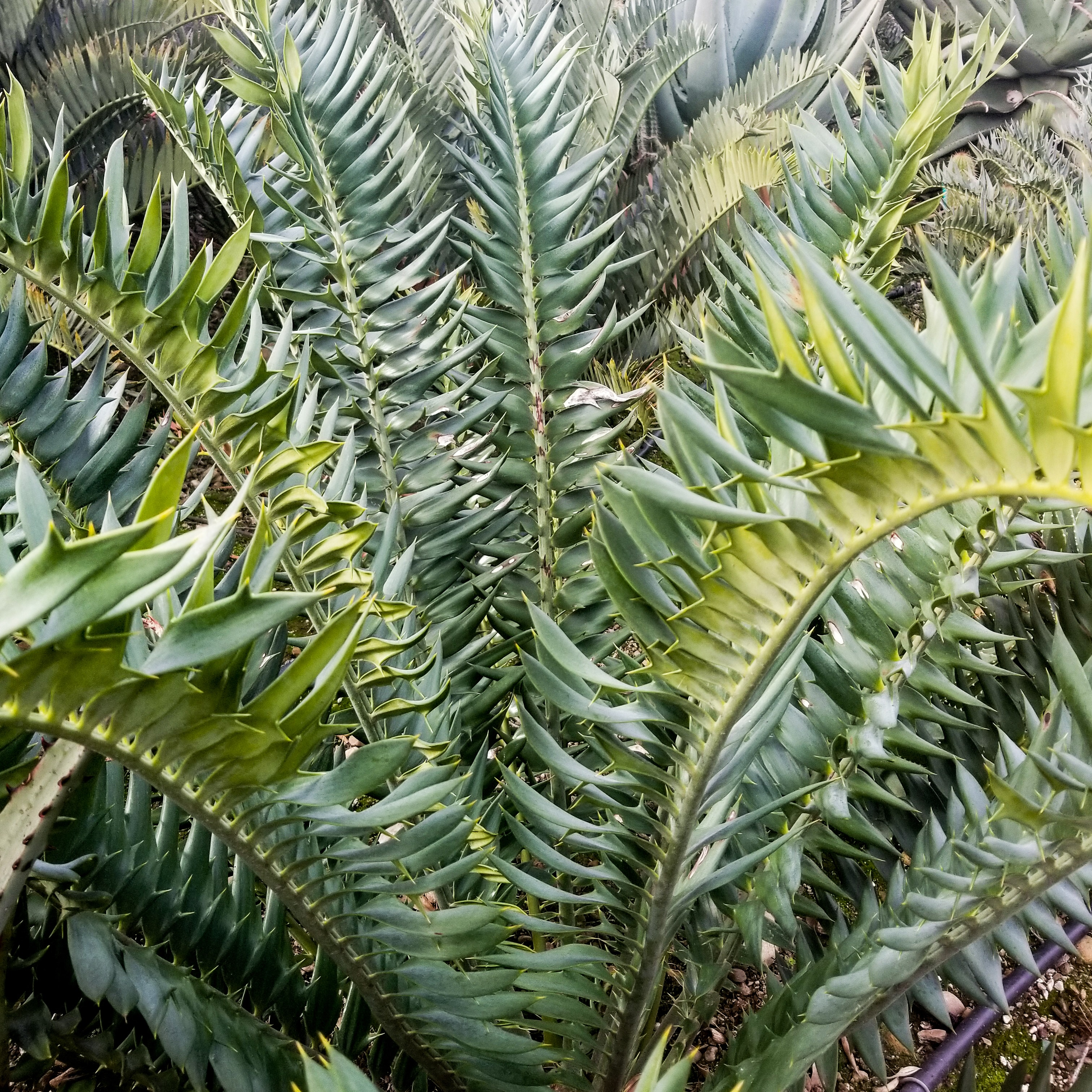 "Encephalartos hybrid ""Natty Dreadlocks"""