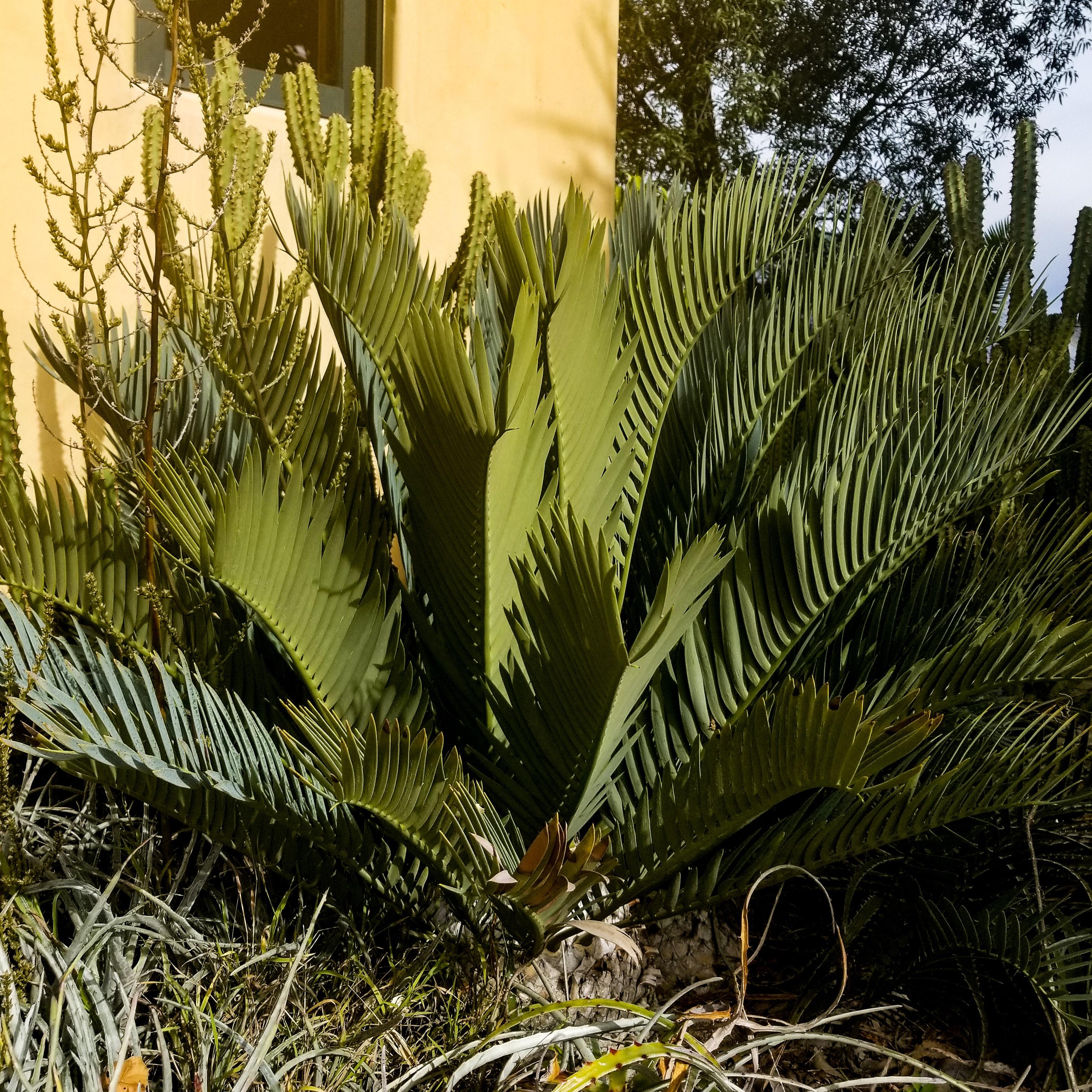 Encephalartos princeps