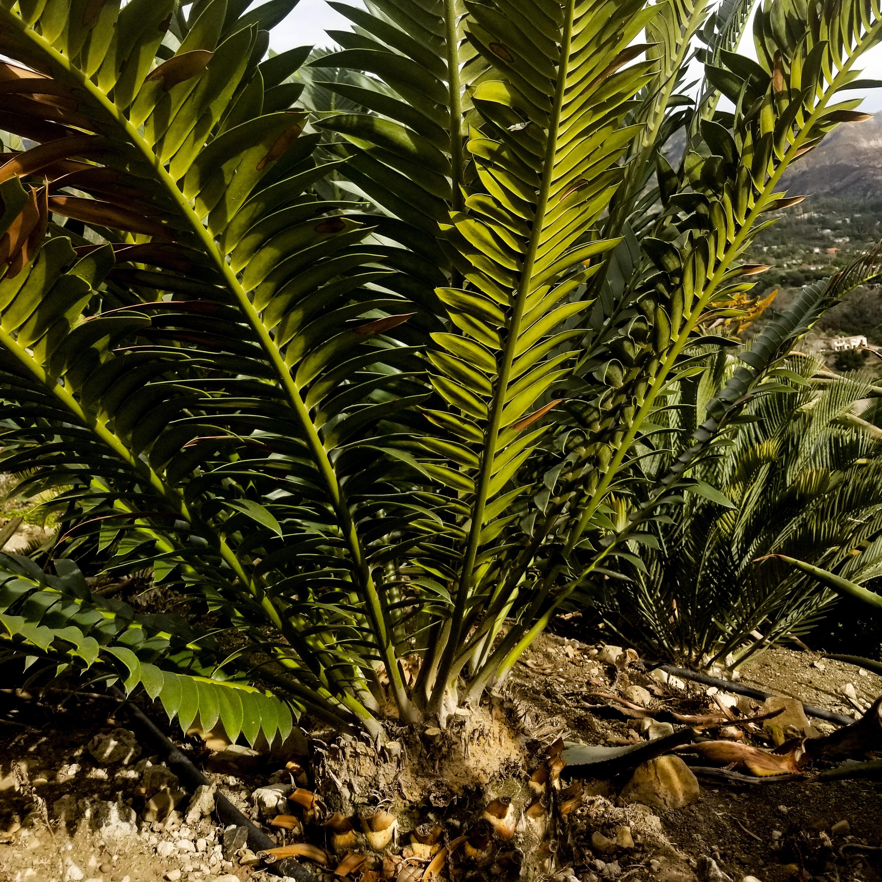 Encephalartos transvenosus x lehmannii