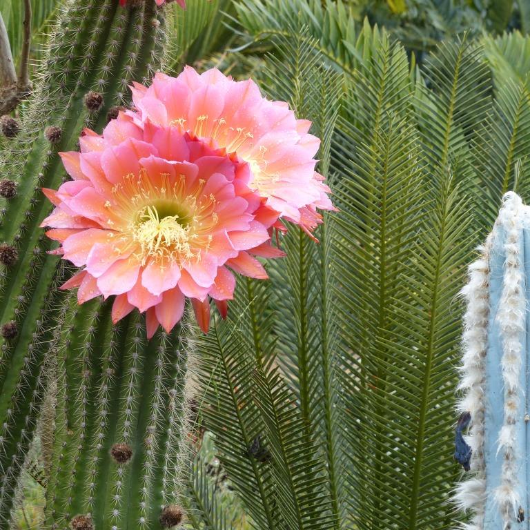 "Echinopsis ""Flying Saucer"""