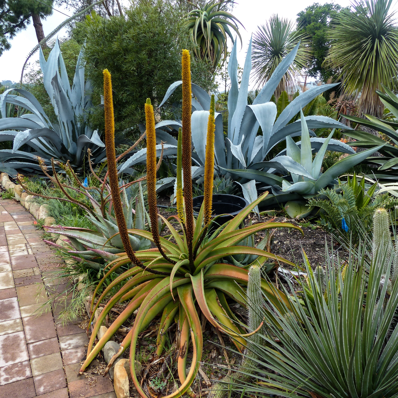Aloe alooides