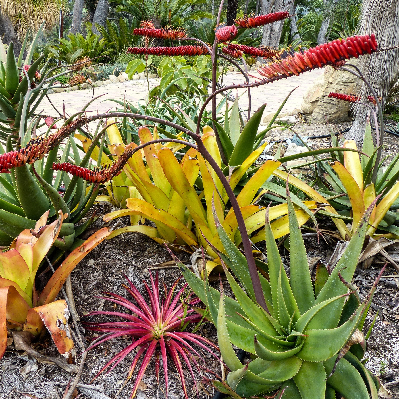 Aloe mawii hybrid