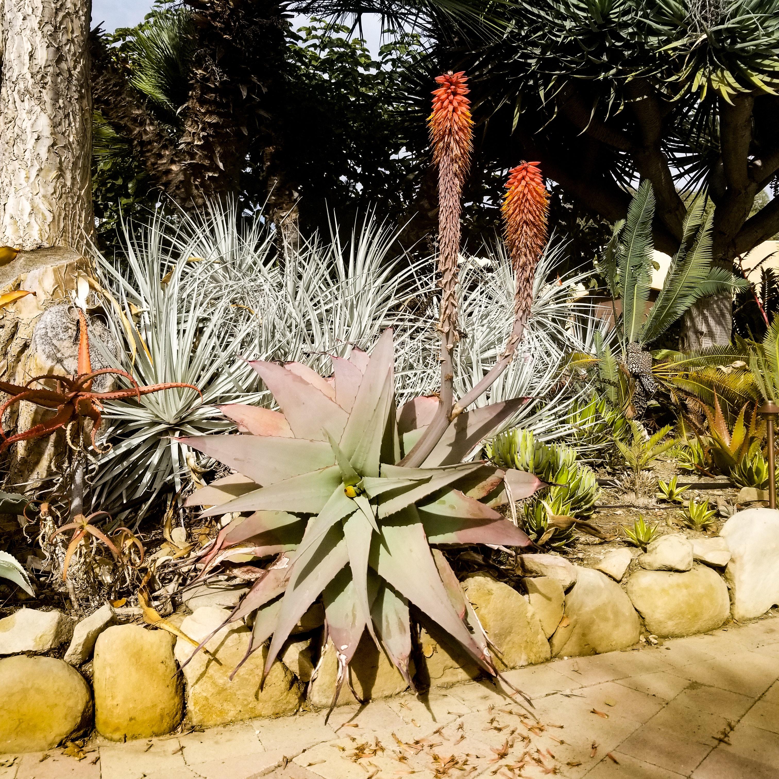 Aloe rubroviolacea