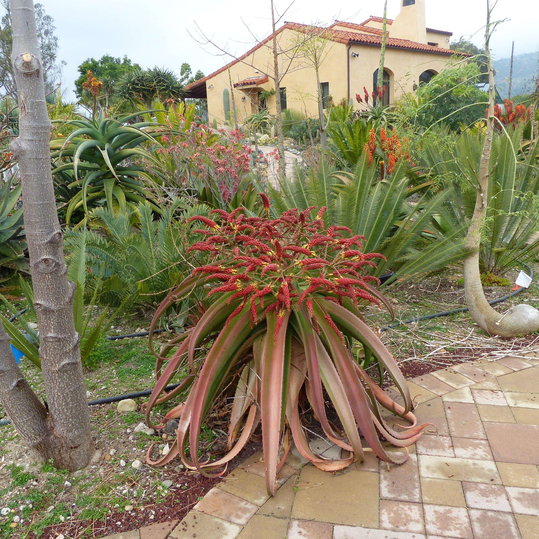 Aloe voatsanda