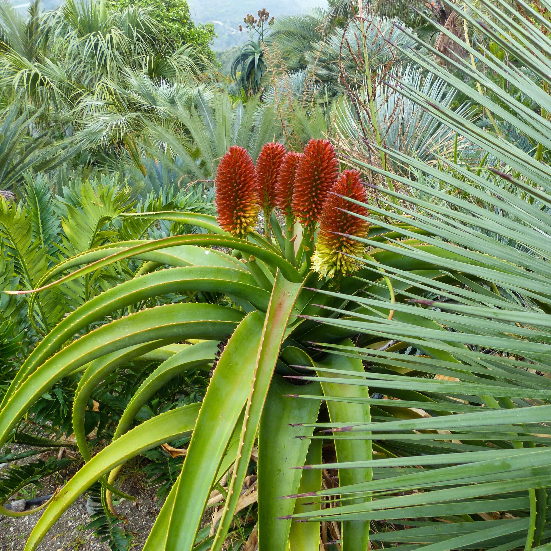 Aloe helenae