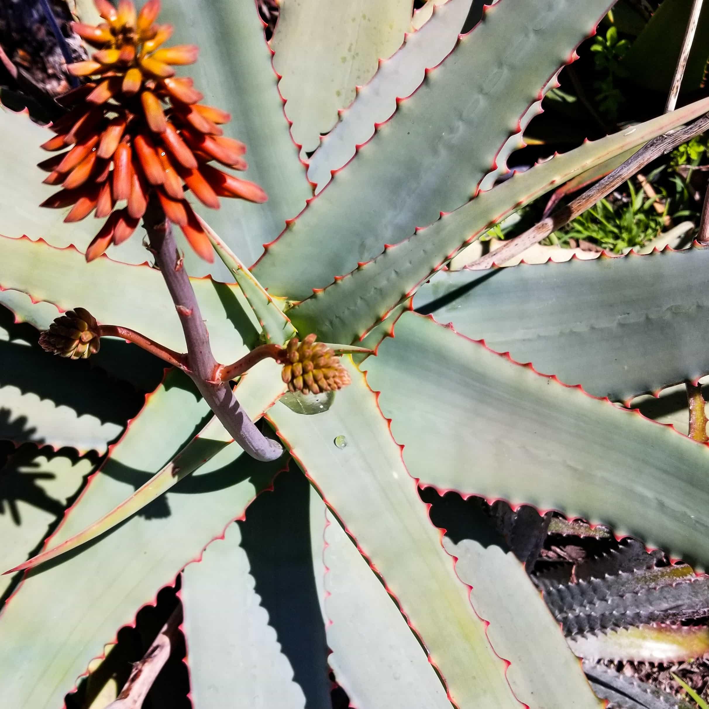 Aloe schelpei