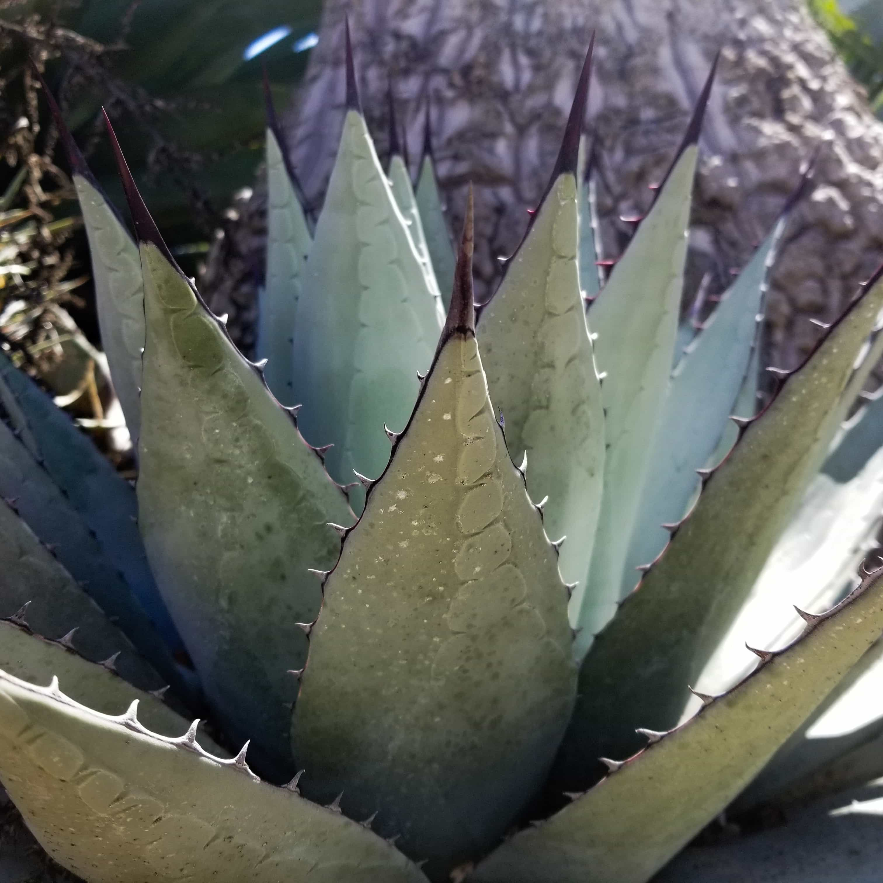 Agave and Hechtia