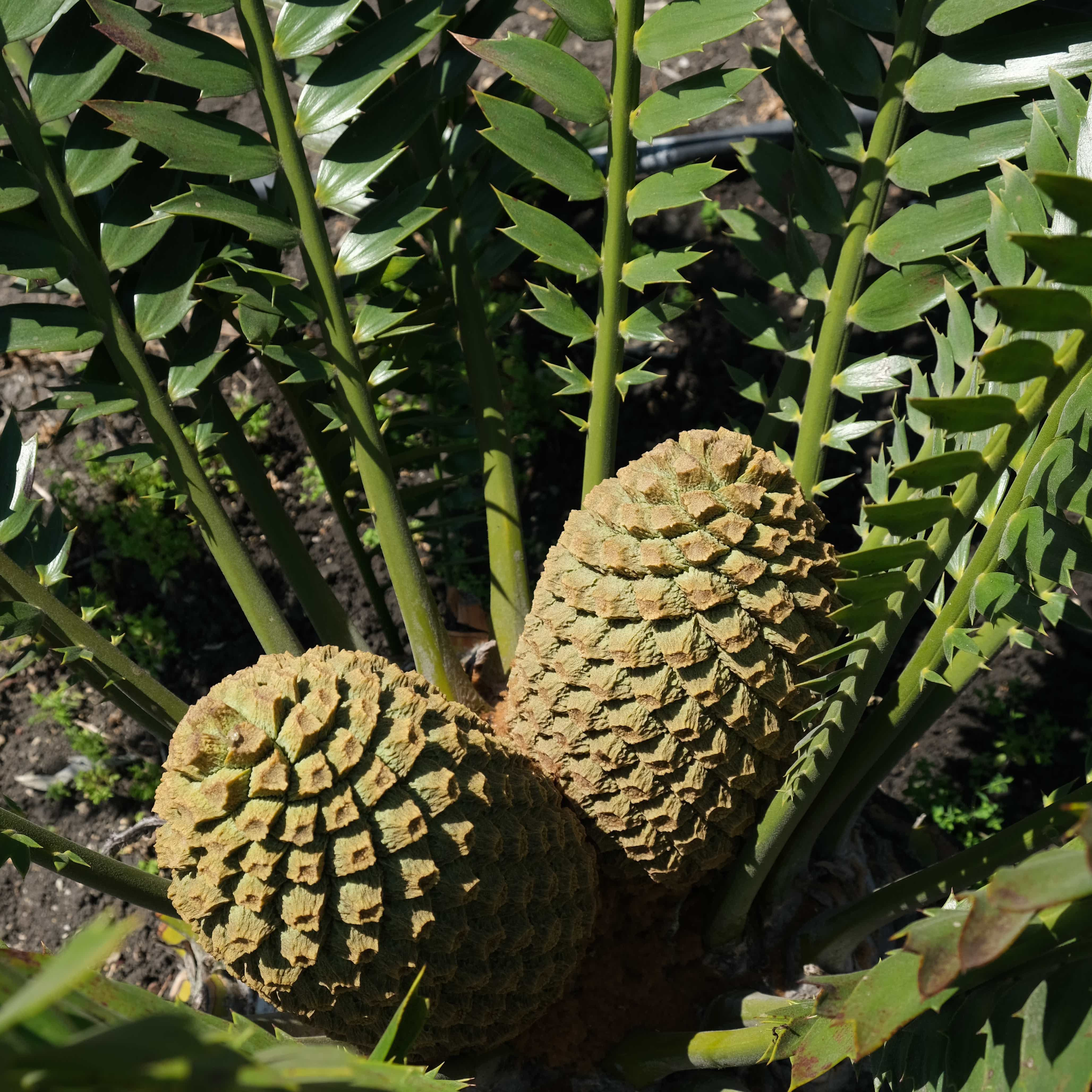 Encephalartos transvenosus x latifrons