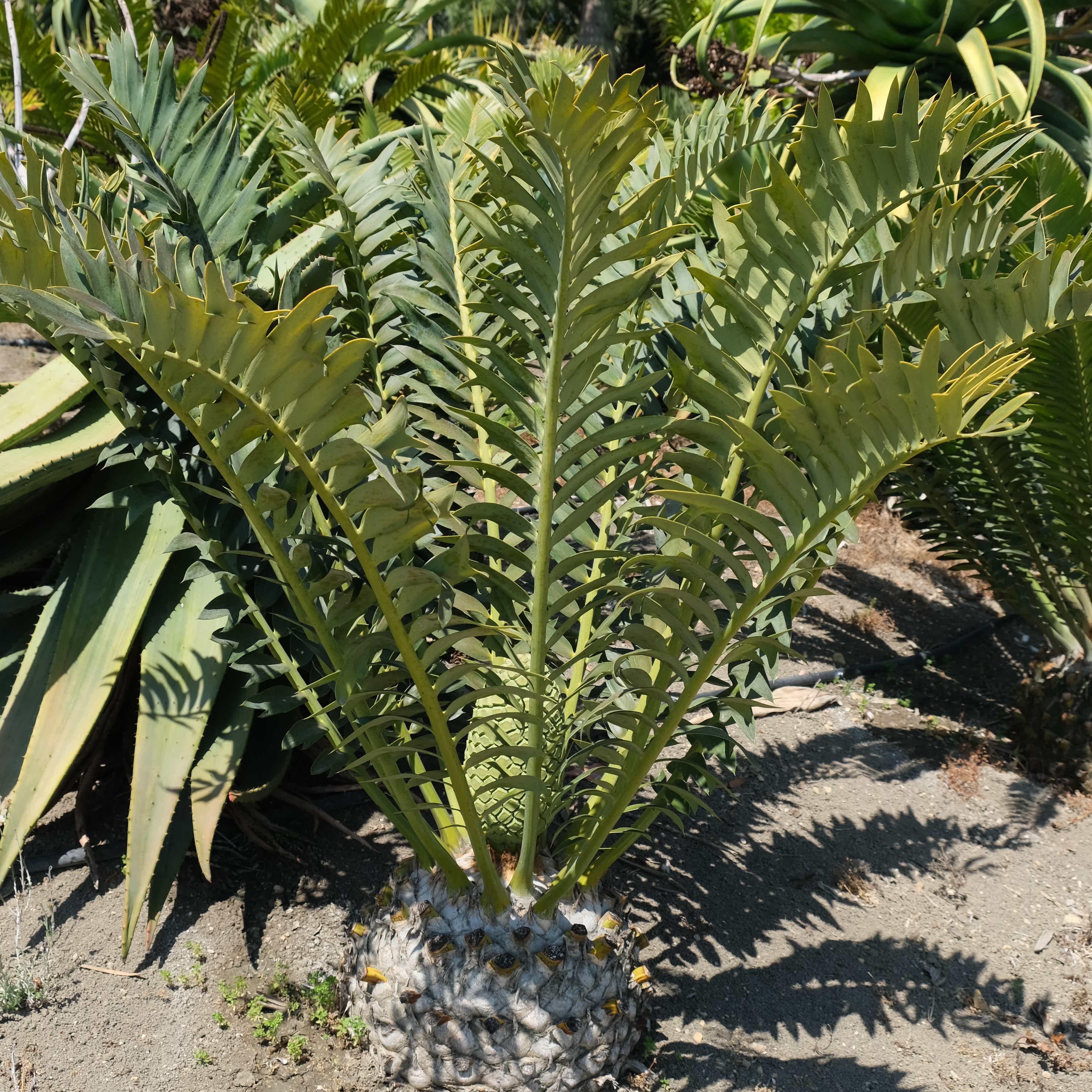 Encephalartos arenarius x horridus