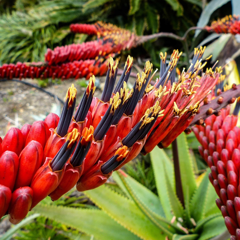 Aloe mawii OP
