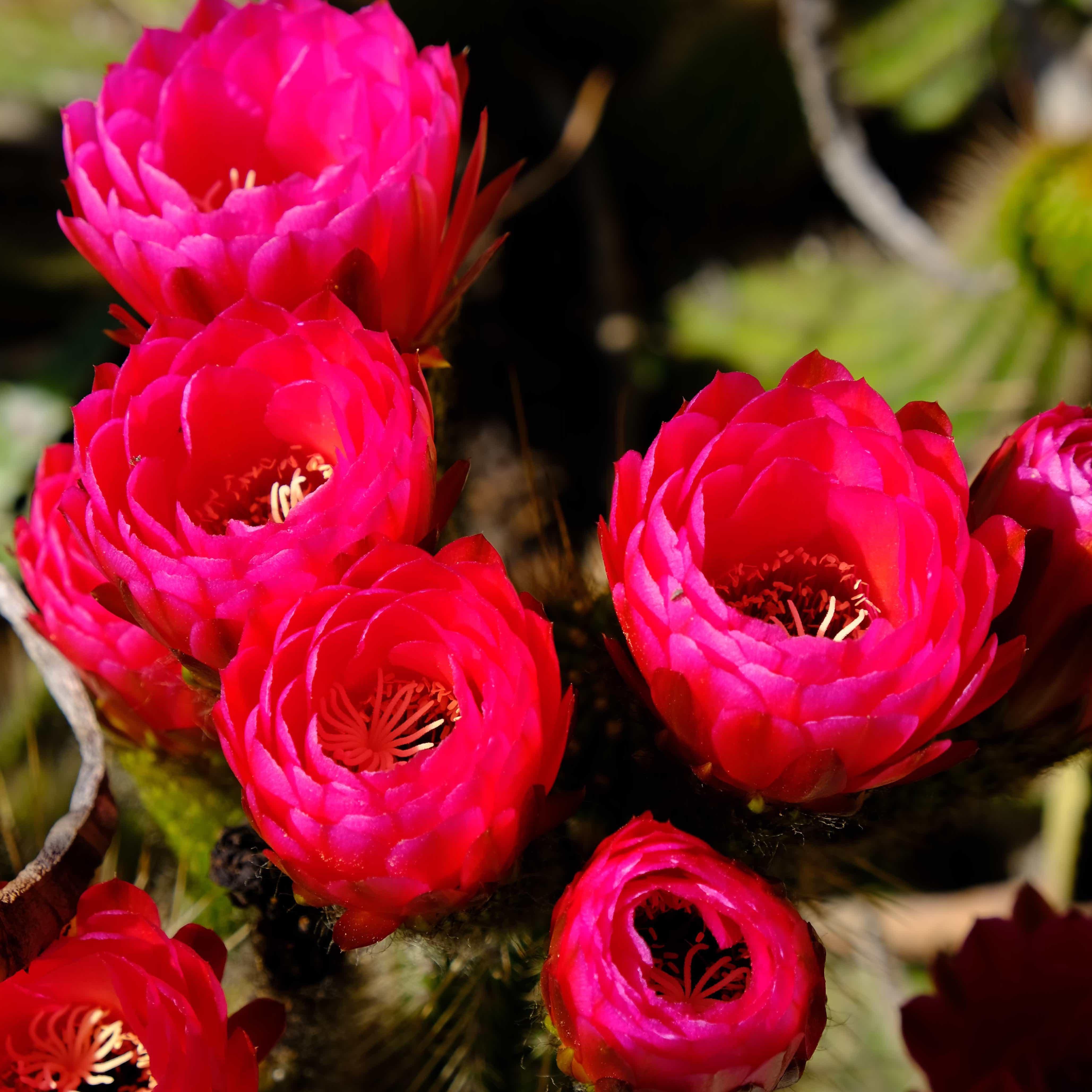 "Echinopsis ""Hot Pink"""