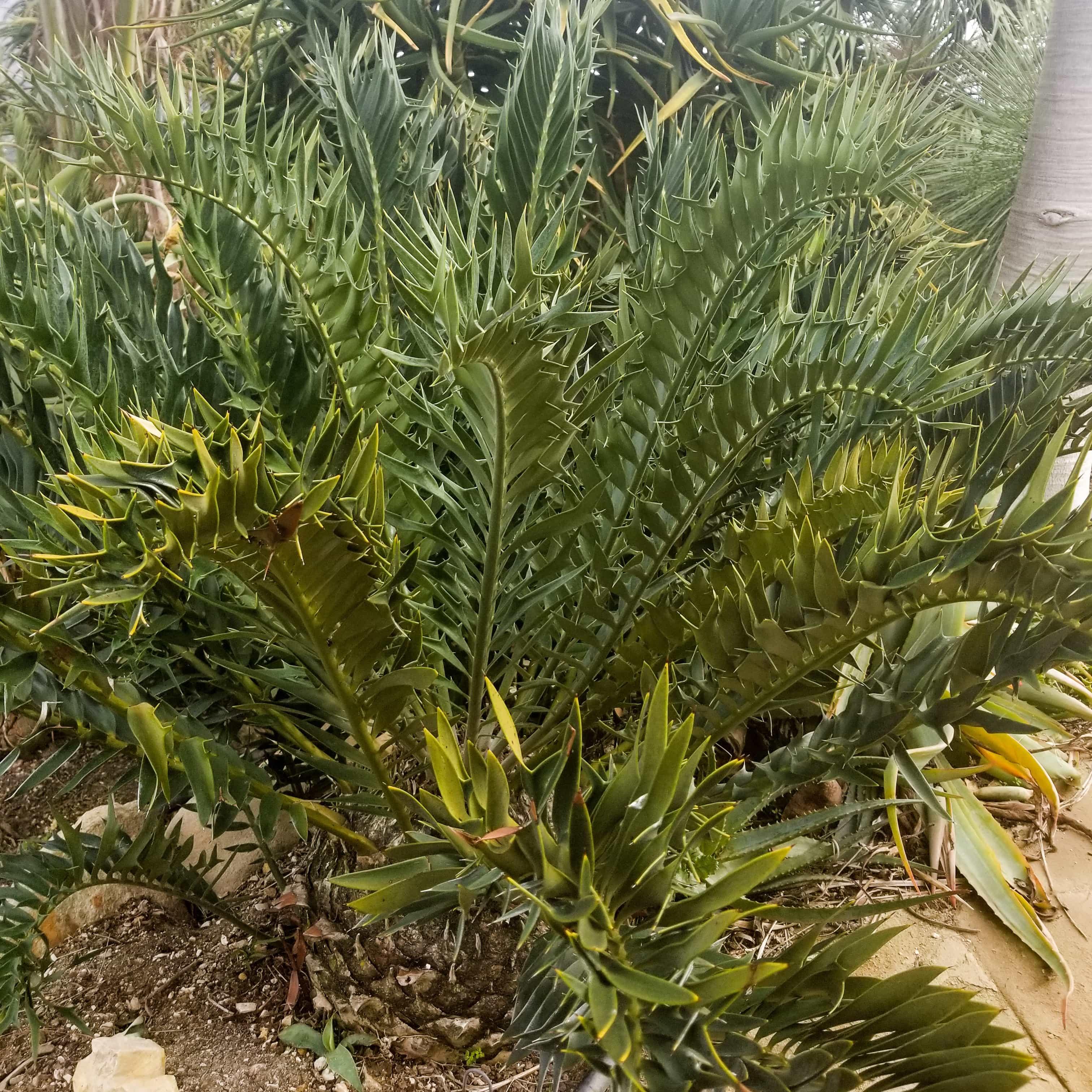 Encephalartos horridus x longifolius