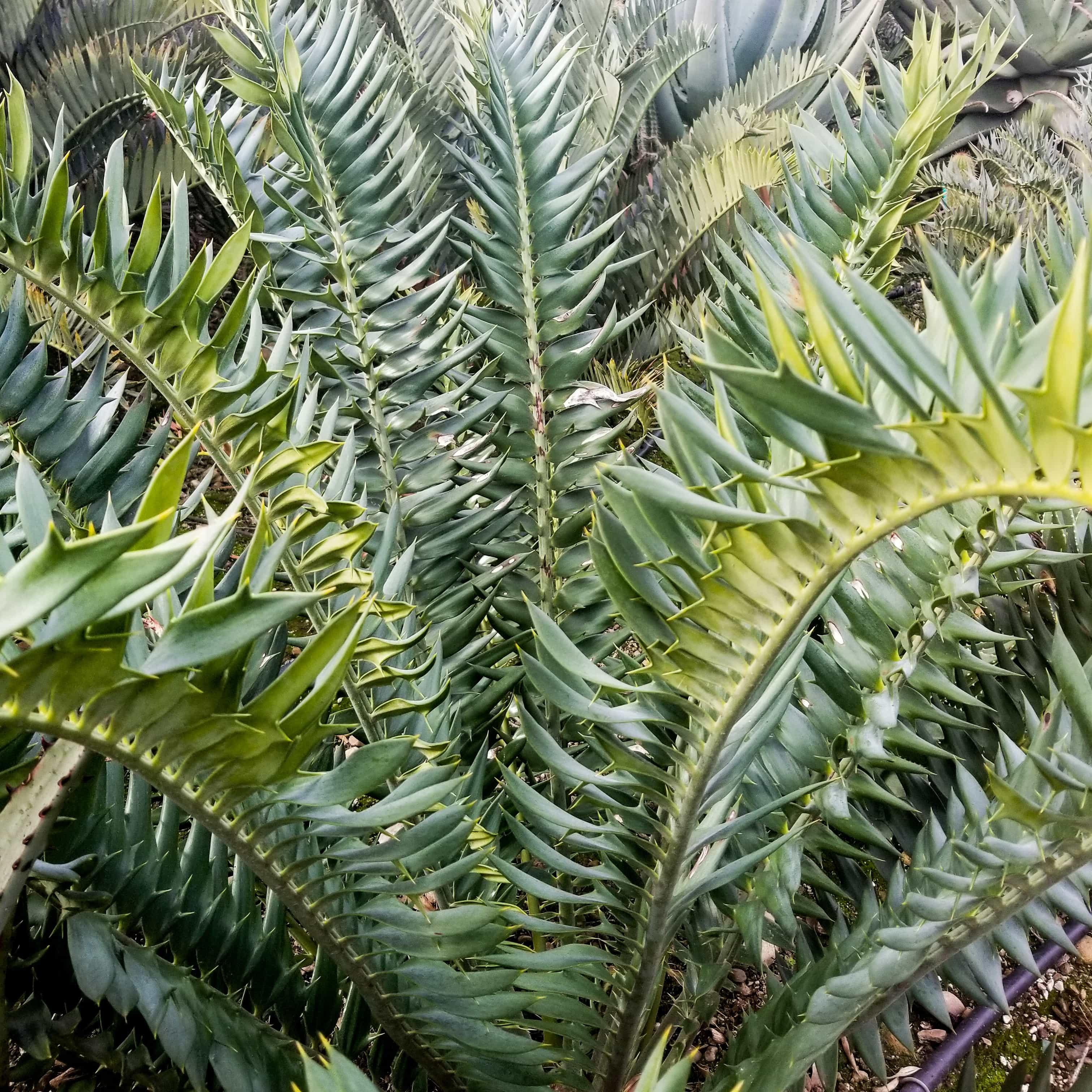 "Encephalartos hybrid ""Natty Dreadlocks"""