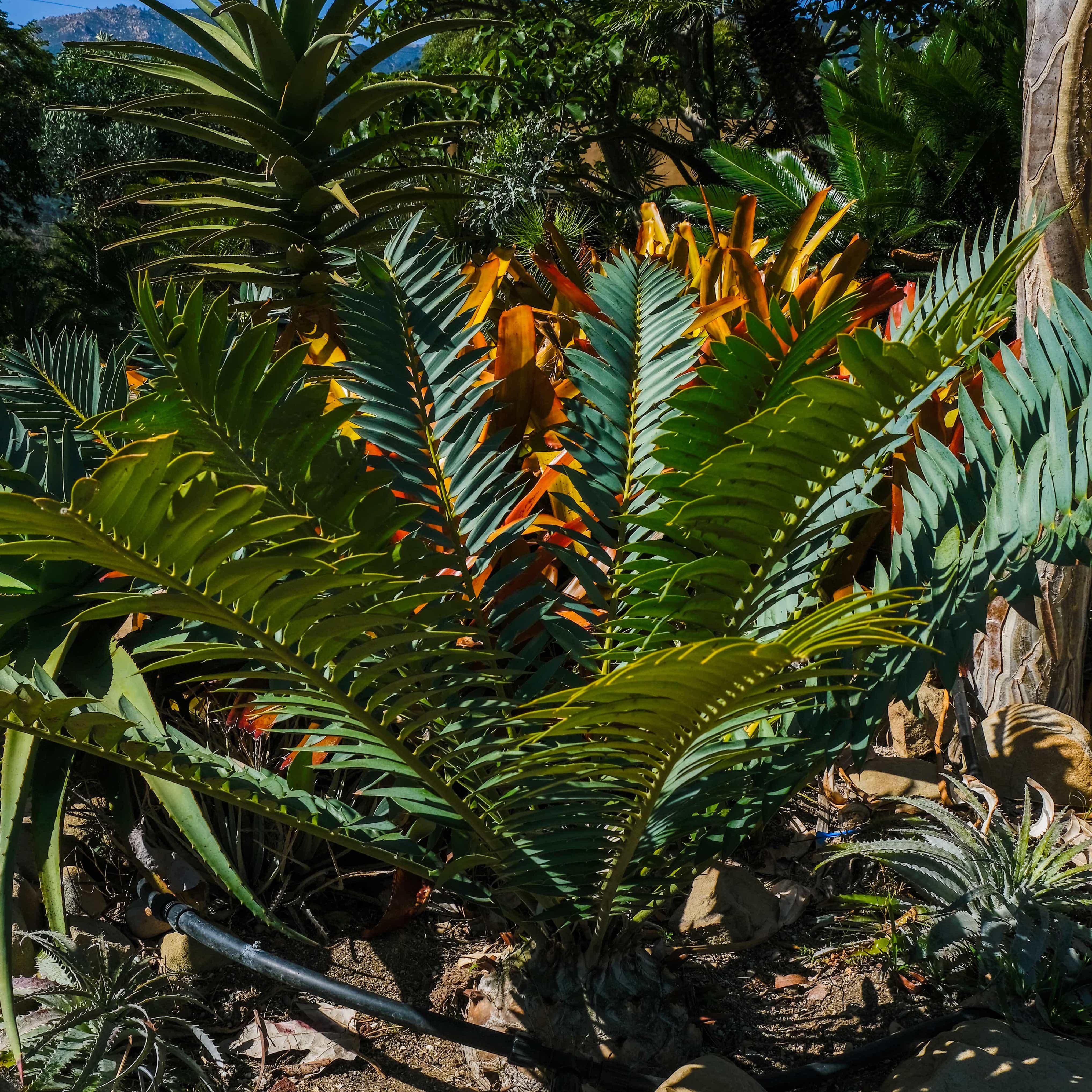 encephalartos lehmannii x transvenosus