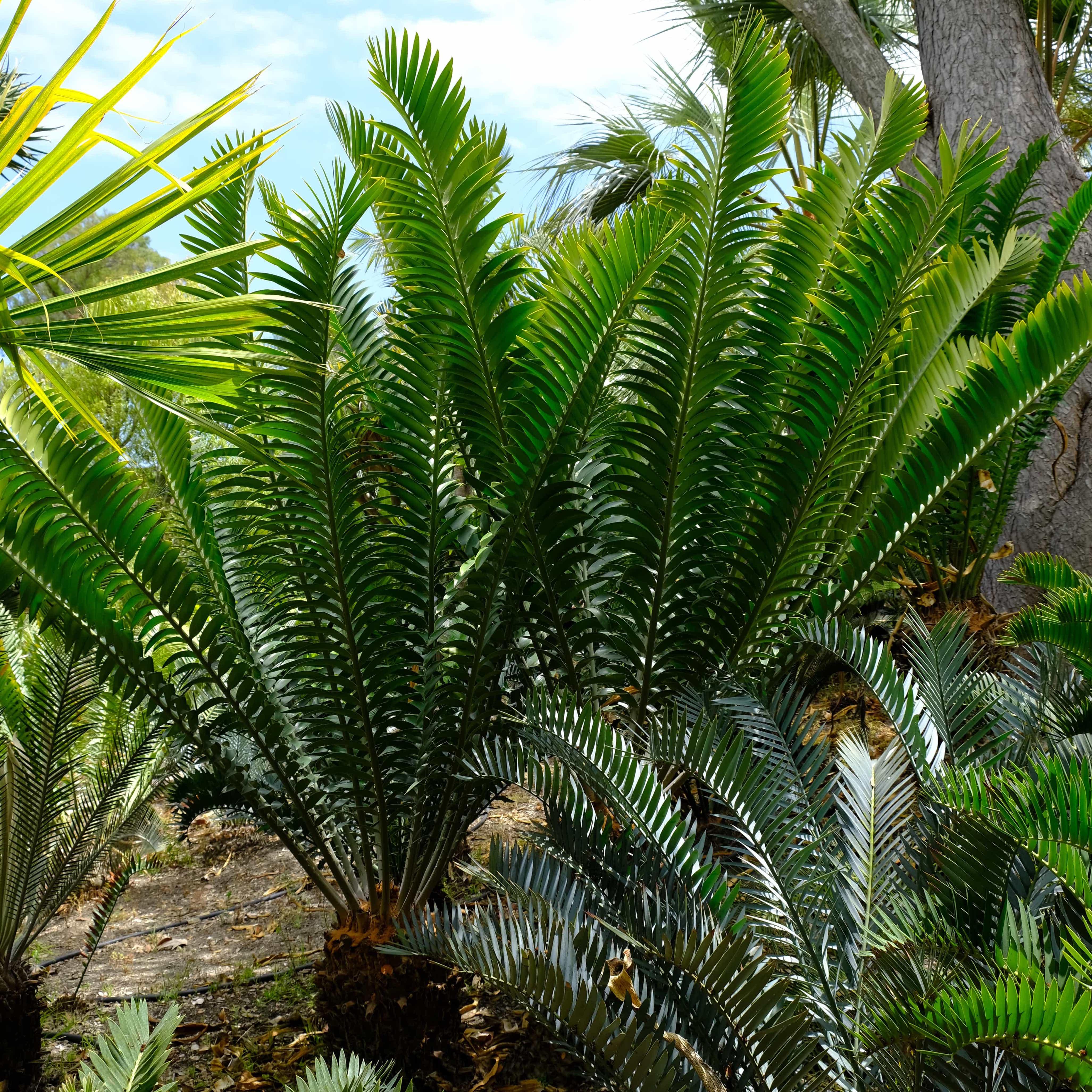 Encephalartos natalensis