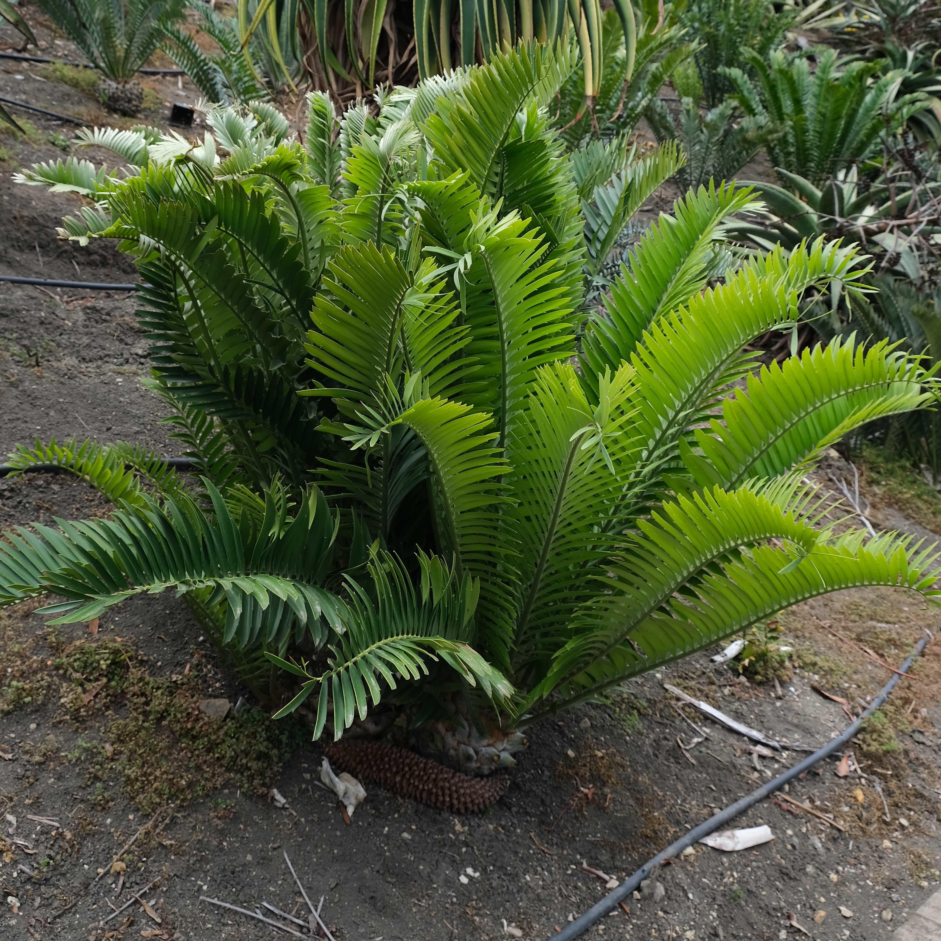 Encephalartos whitelockii x horridus