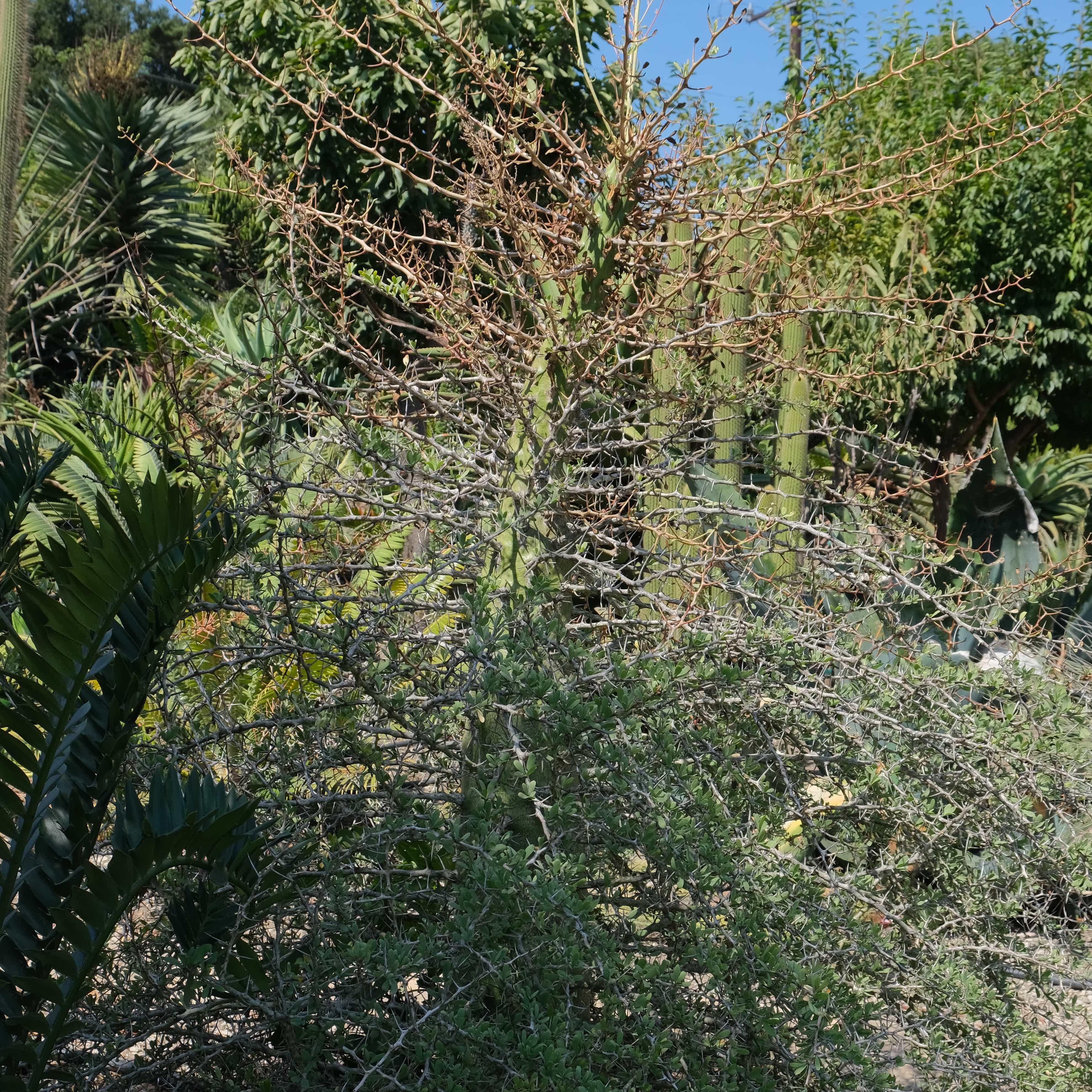 Fouquieria columnaris