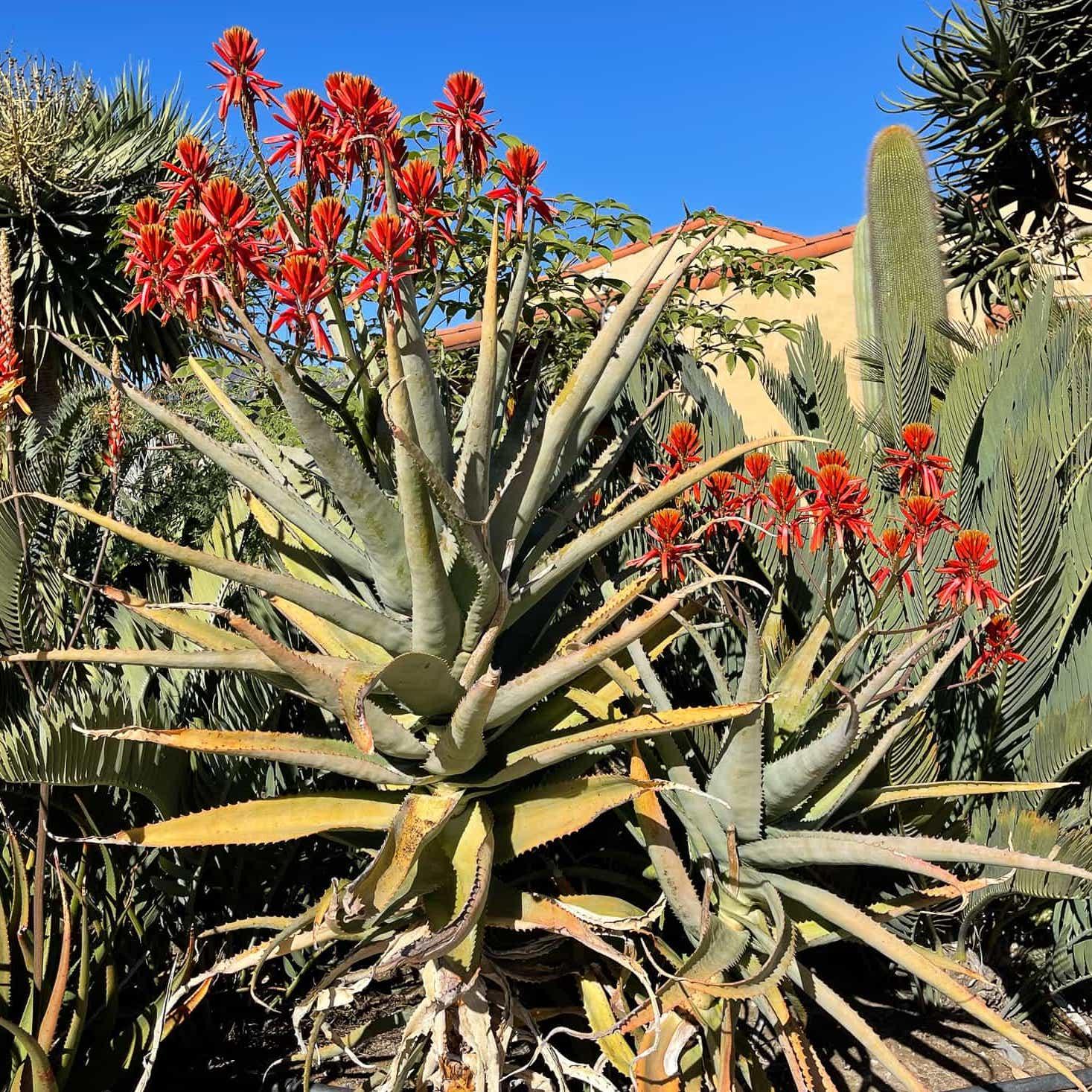 Aloe volkensii