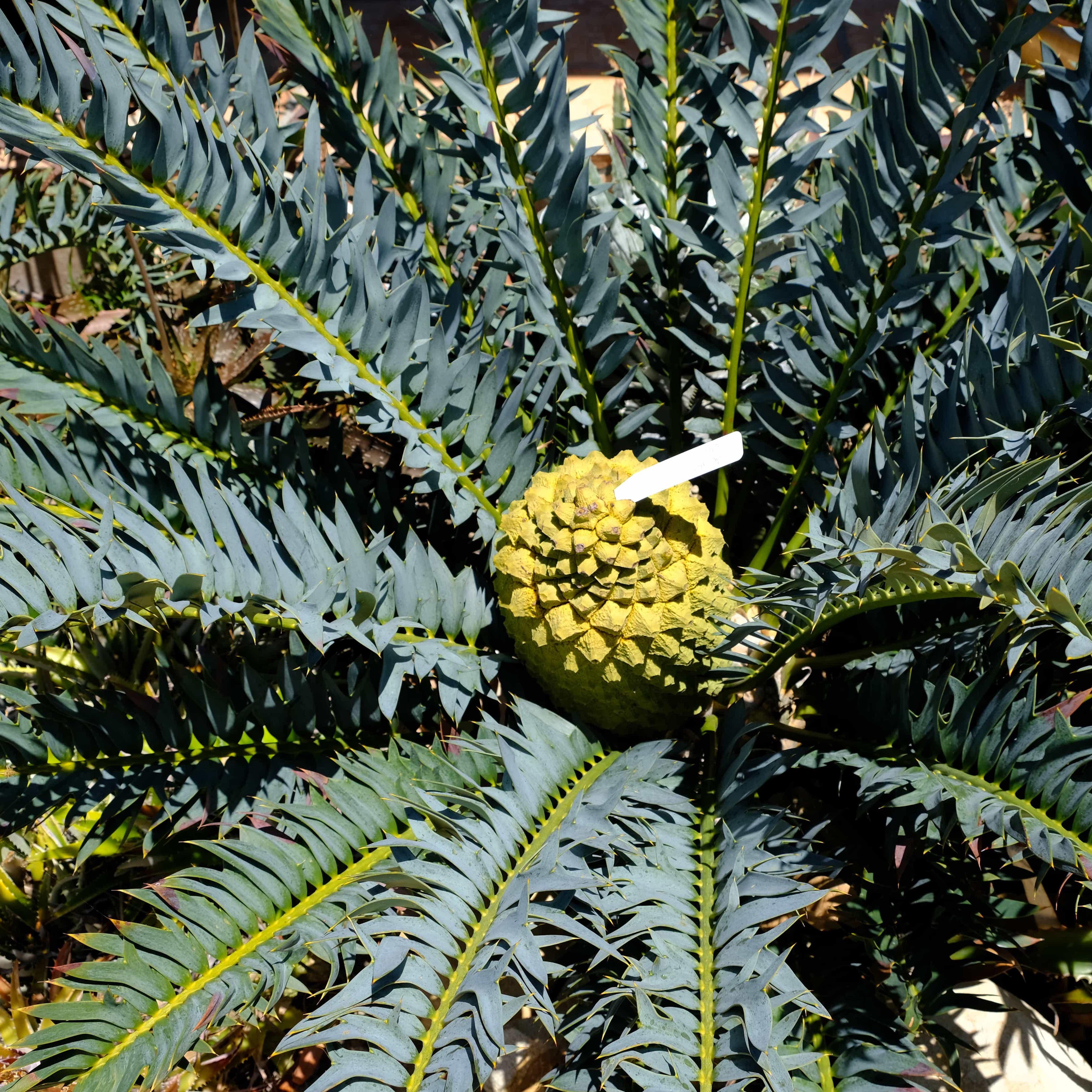"Encephalartos hybrid ""Blue Meanie"""