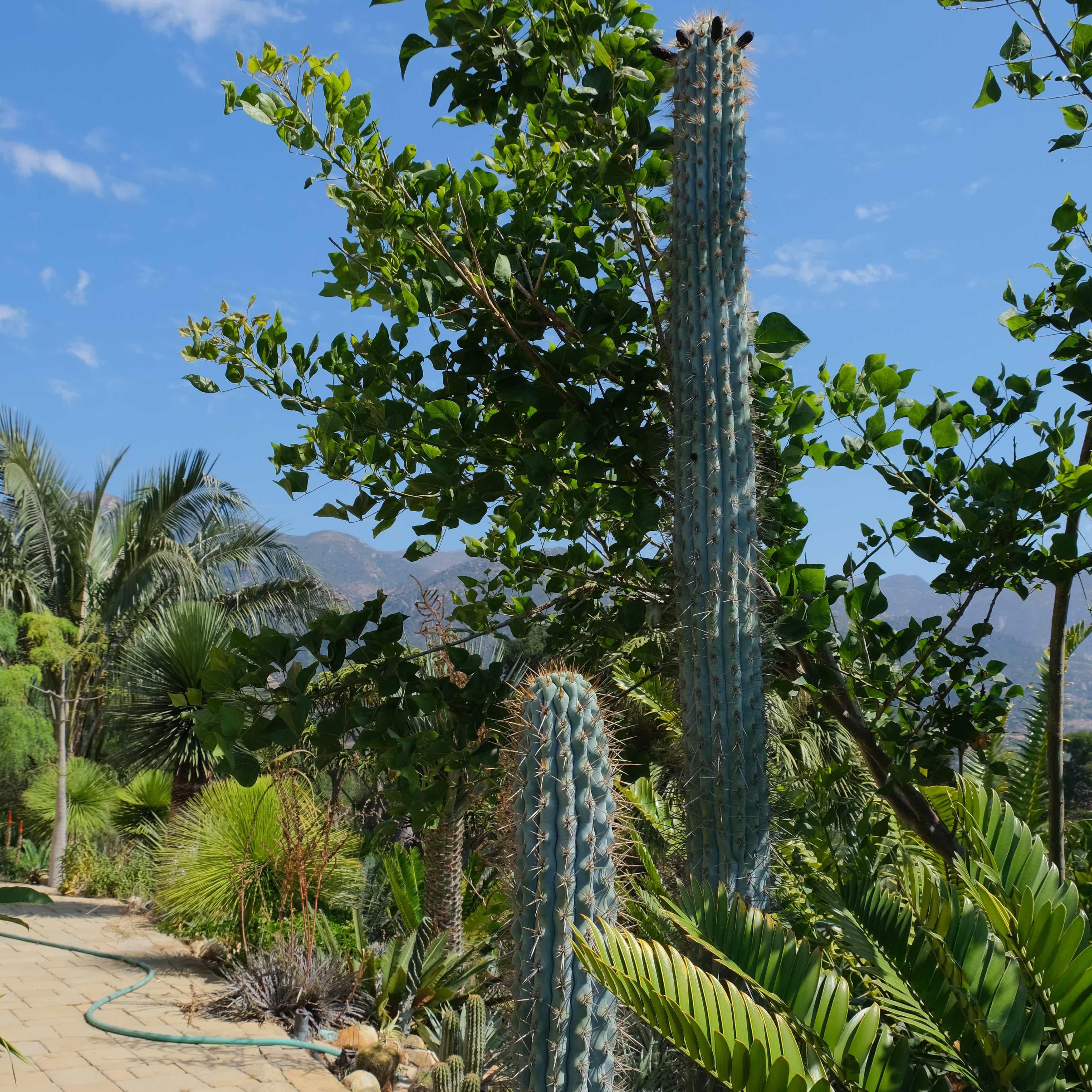 Browningia altissima