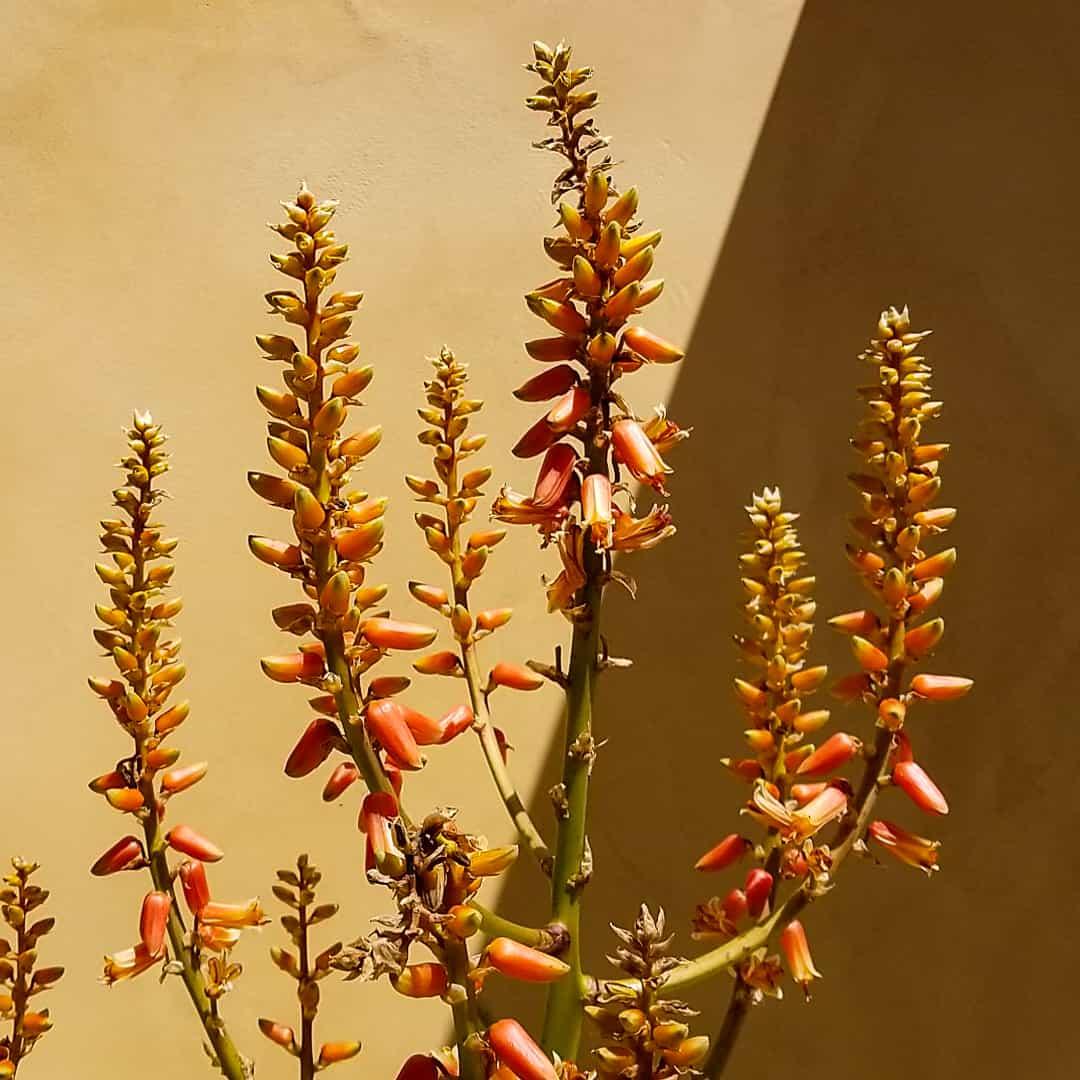 Aloe sabaea