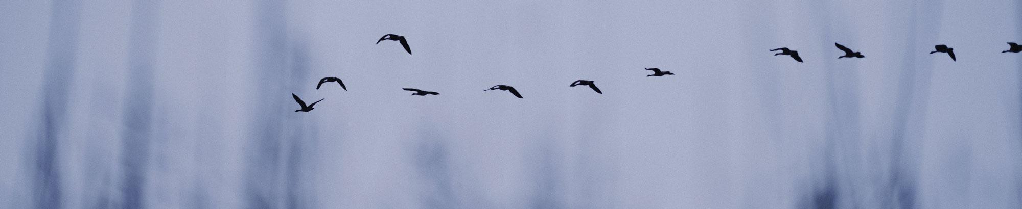 birds over melrose