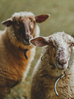 sheep around melrose