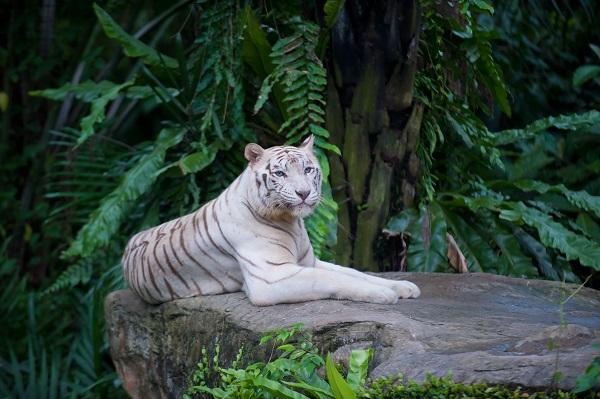 White Tiger Singapore Zoo