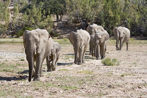 Elephants Skeleton Coast Namibia