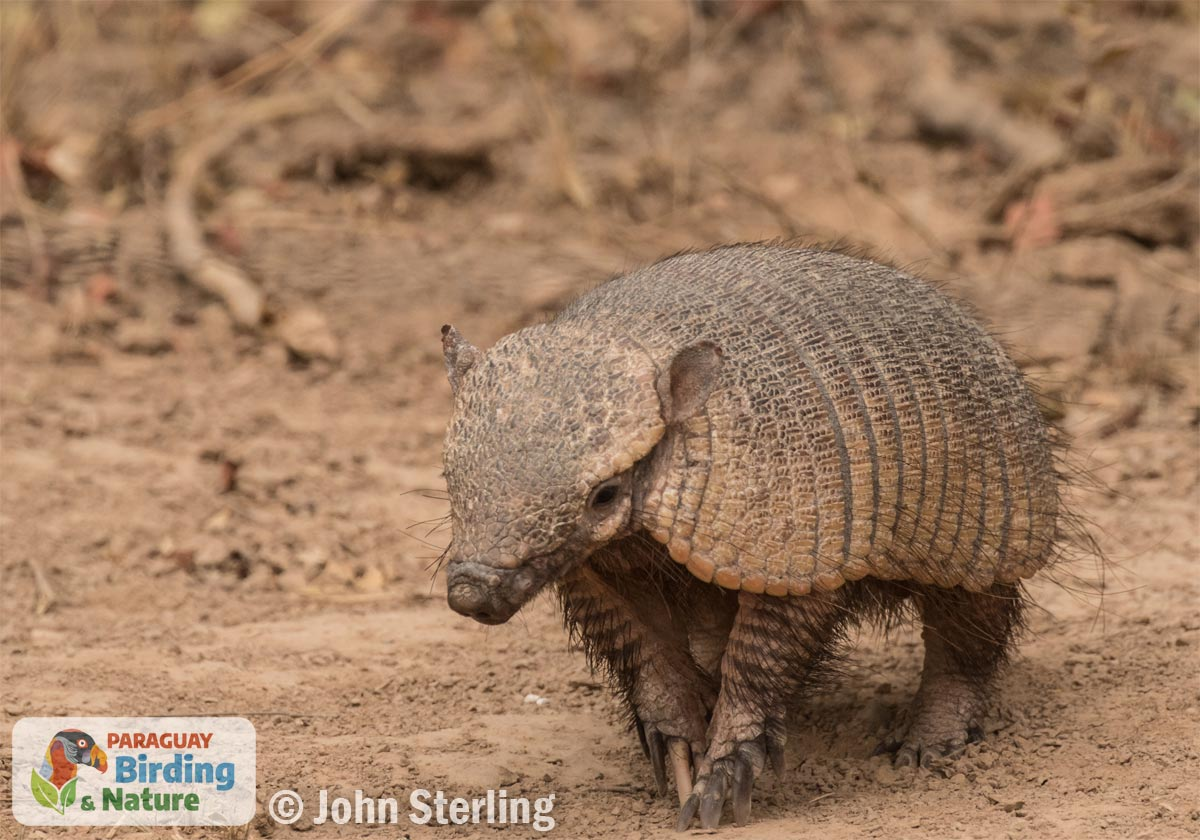 Hairy Armadillo_© John Sterling