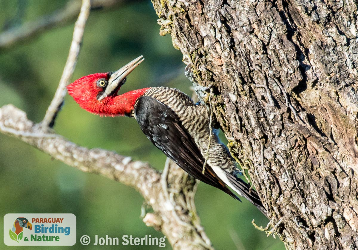 Robust Woodpecker_© John Sterling