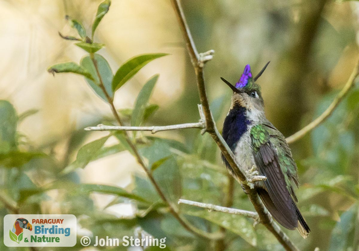 Purple-crowned Plovercrest_© John Sterling