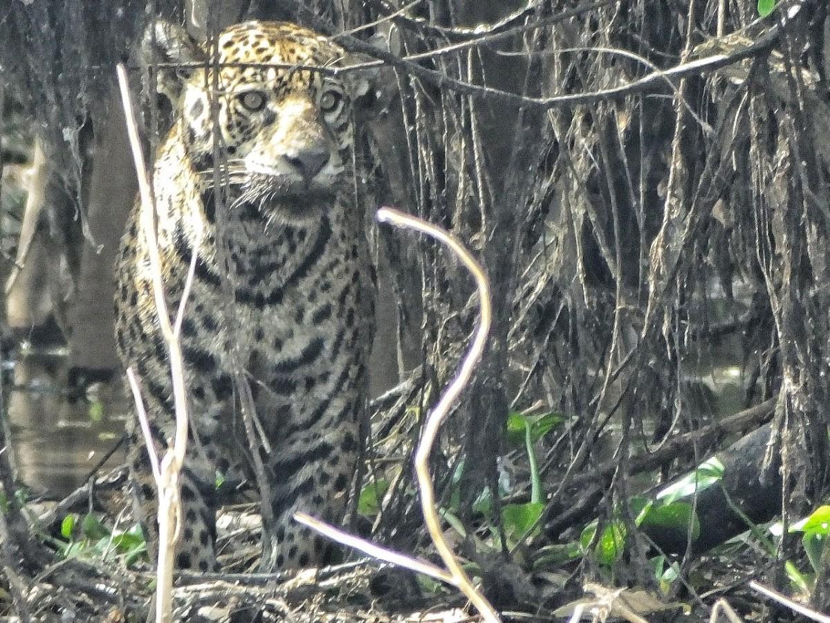 Jaguar_© Oscar Rodriguez