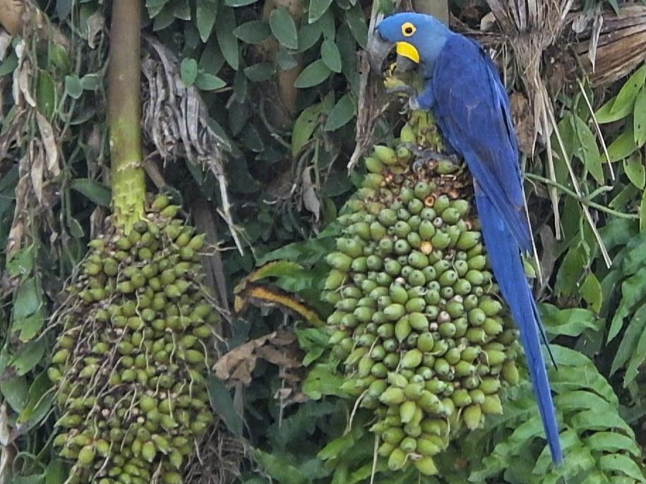 Hyacinth Macaw_© Oscar Rodriguez