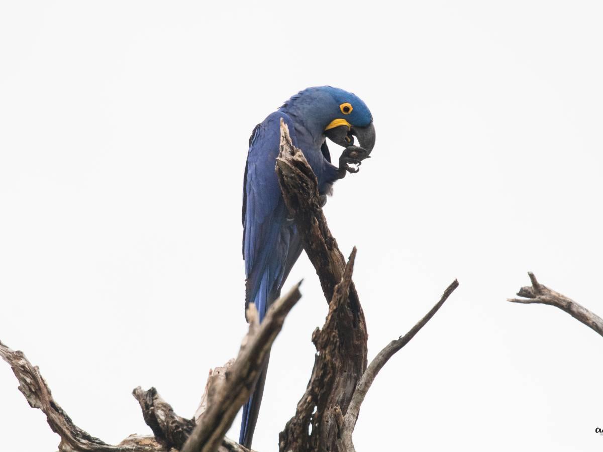Hyacinth Macaw_© Antotang