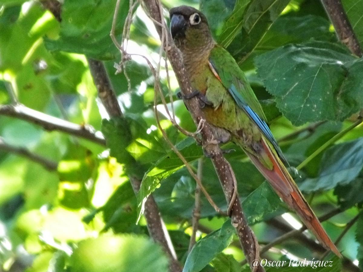 Blaze-winged Parakeet_© Oscar Rodriguez