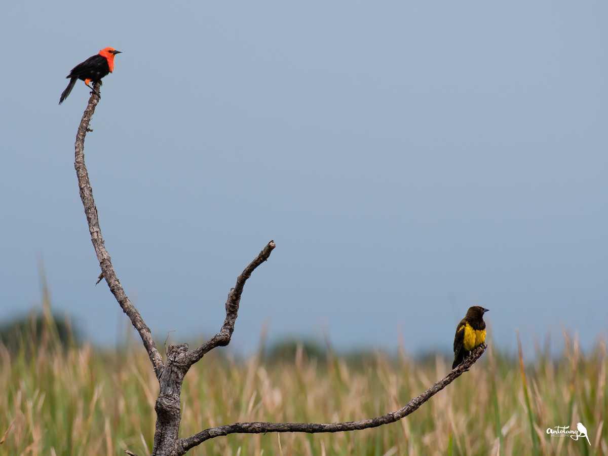Scarlet-headed Blackbird and Yellow-rumped Marshbird_© Antotang