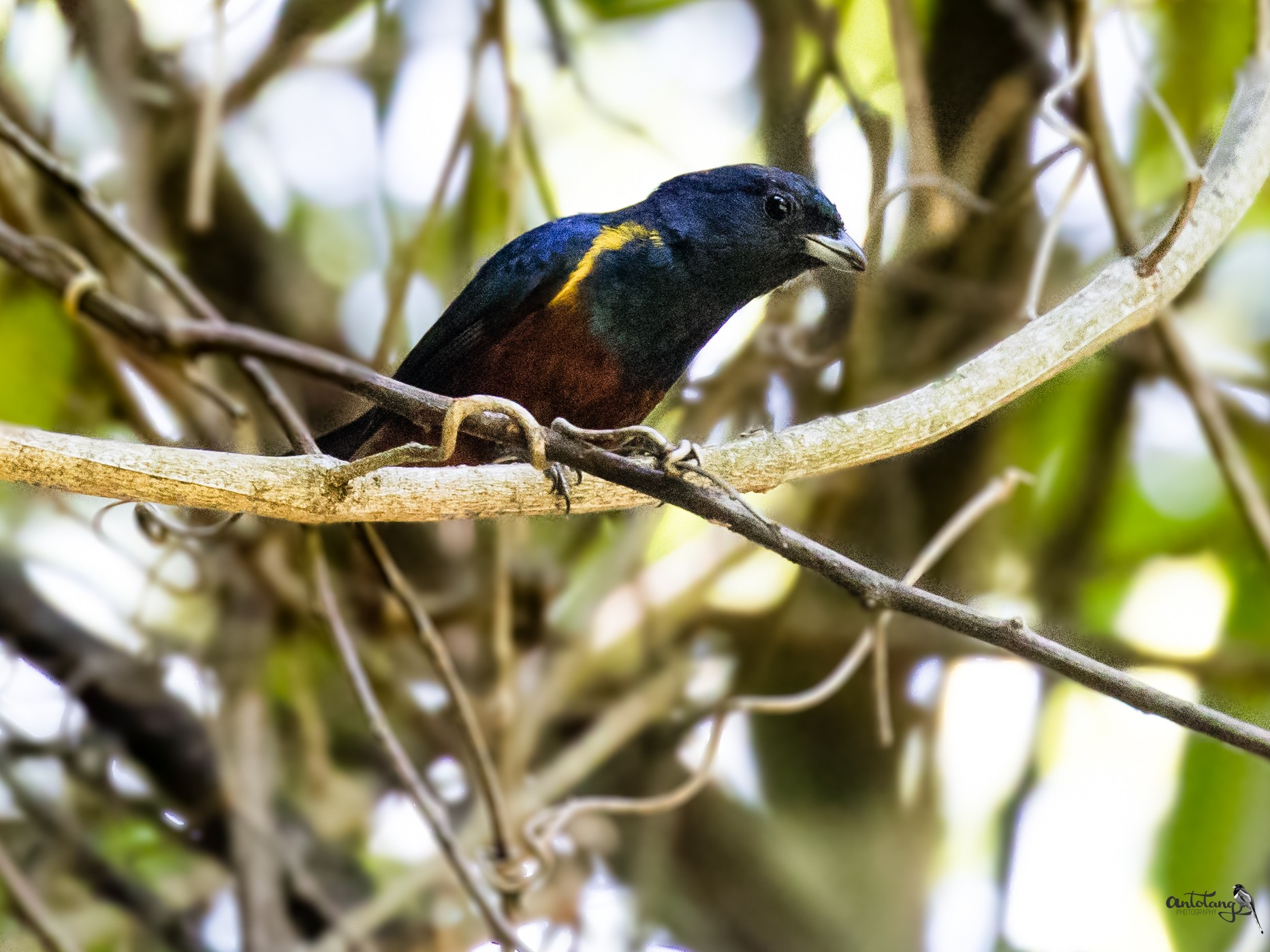 Chestnut-bellied Euphonia_© Antotang
