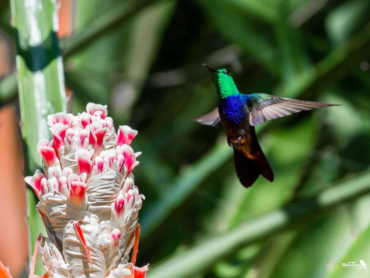 Fork-tailed Woodnymph_© Antotang