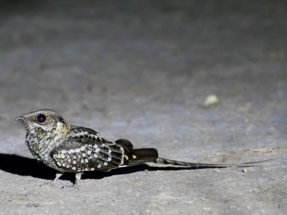 Scissor-tailed Nightjar_© John Sterling