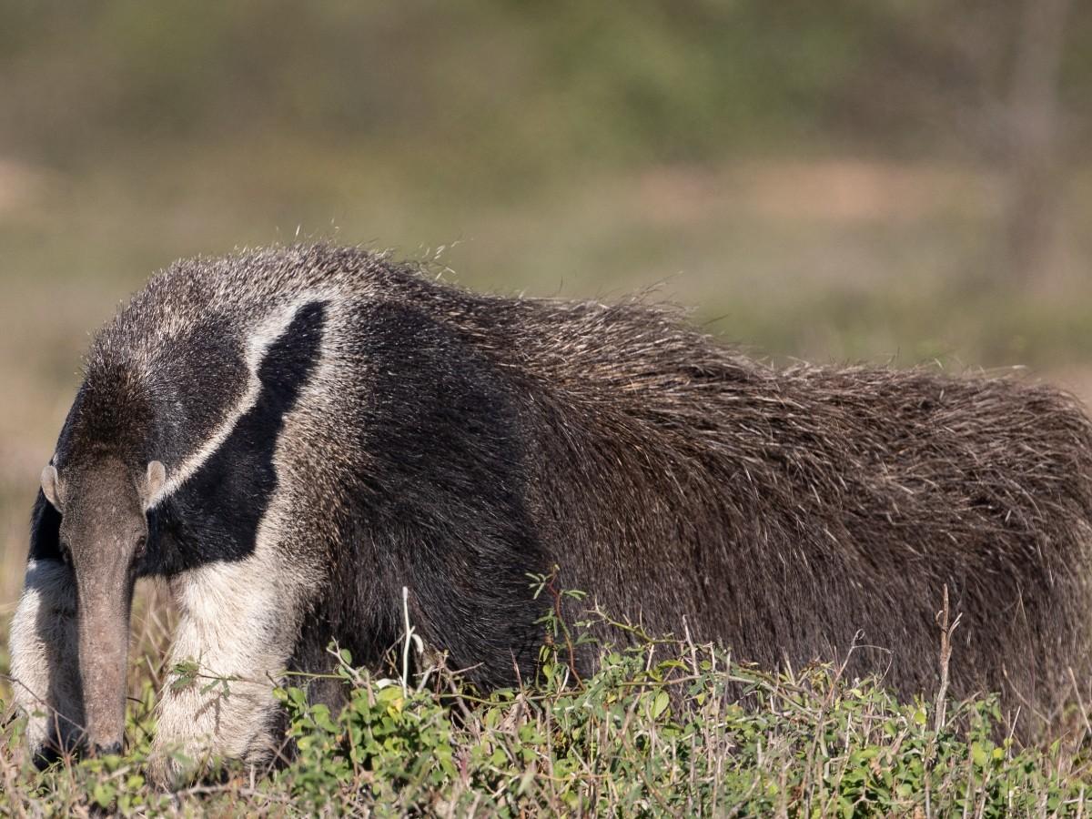 Giant Anteater_© John Sterling