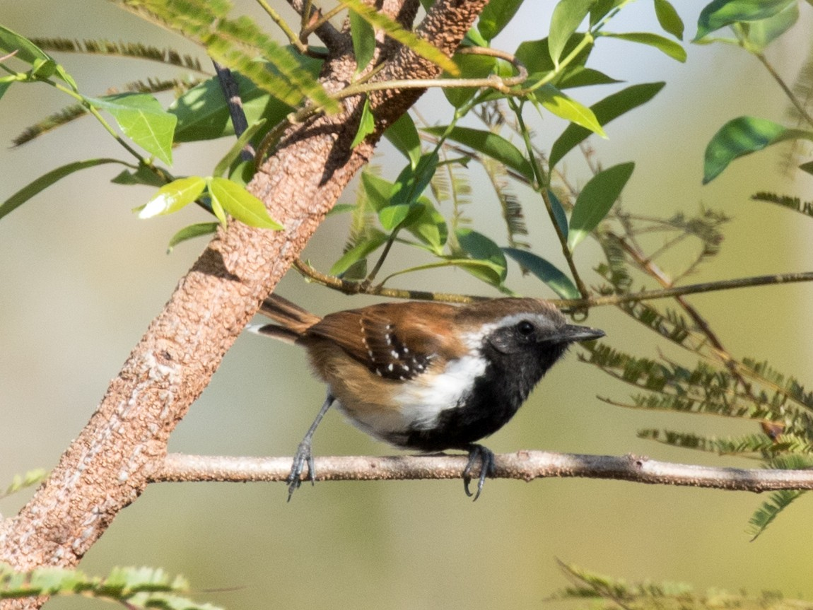 Rusty-backed Antwren_© John Sterling