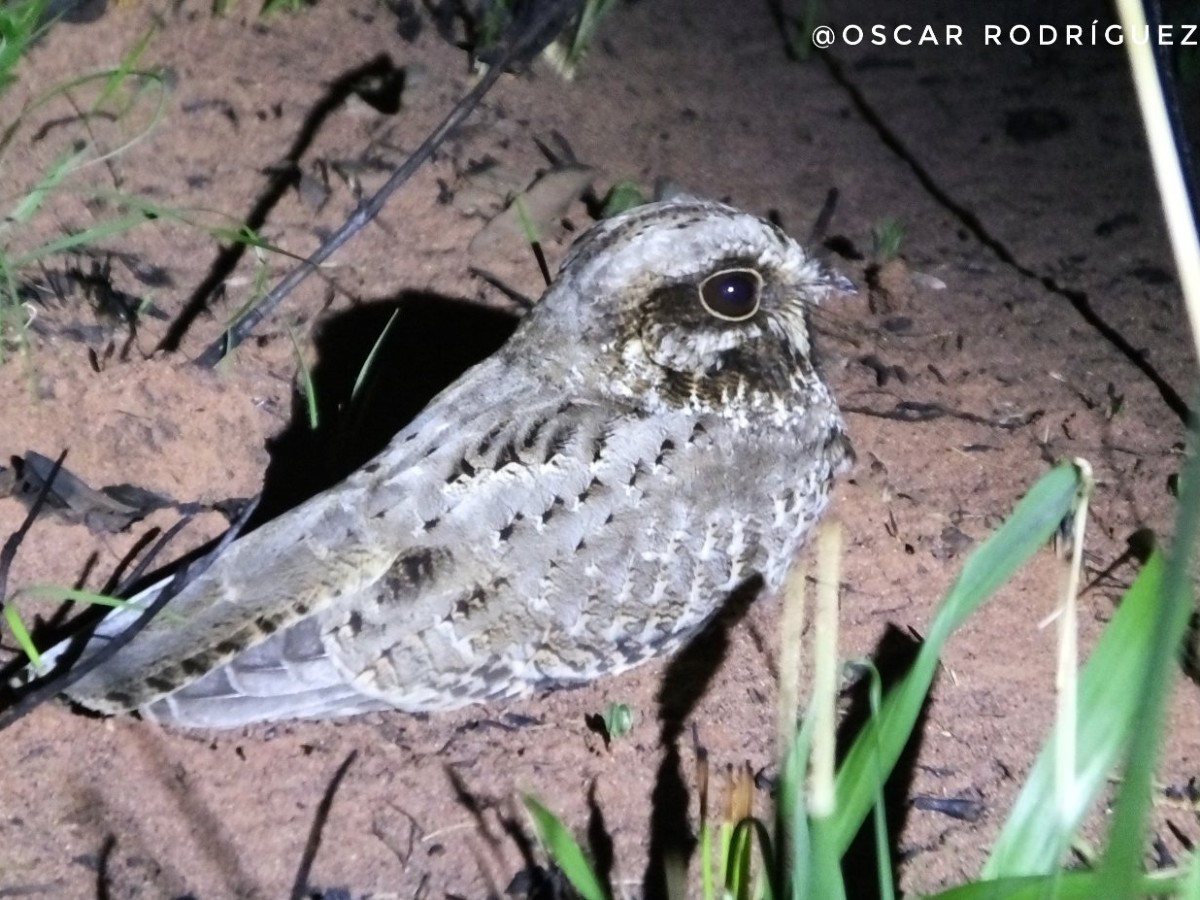 White-winged Nightjar_© Oscar Rodriguez