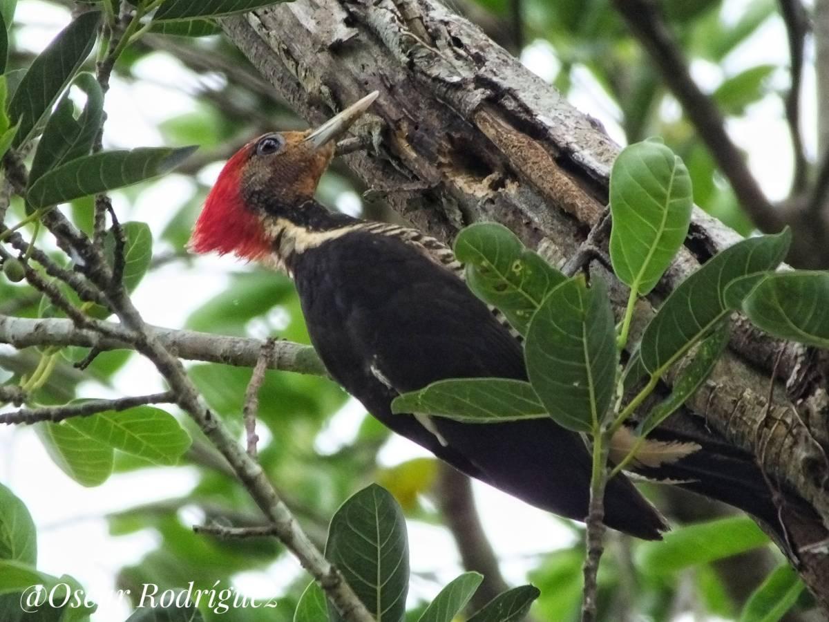 Helmet Woodpecker_© Oscar Rodriguez