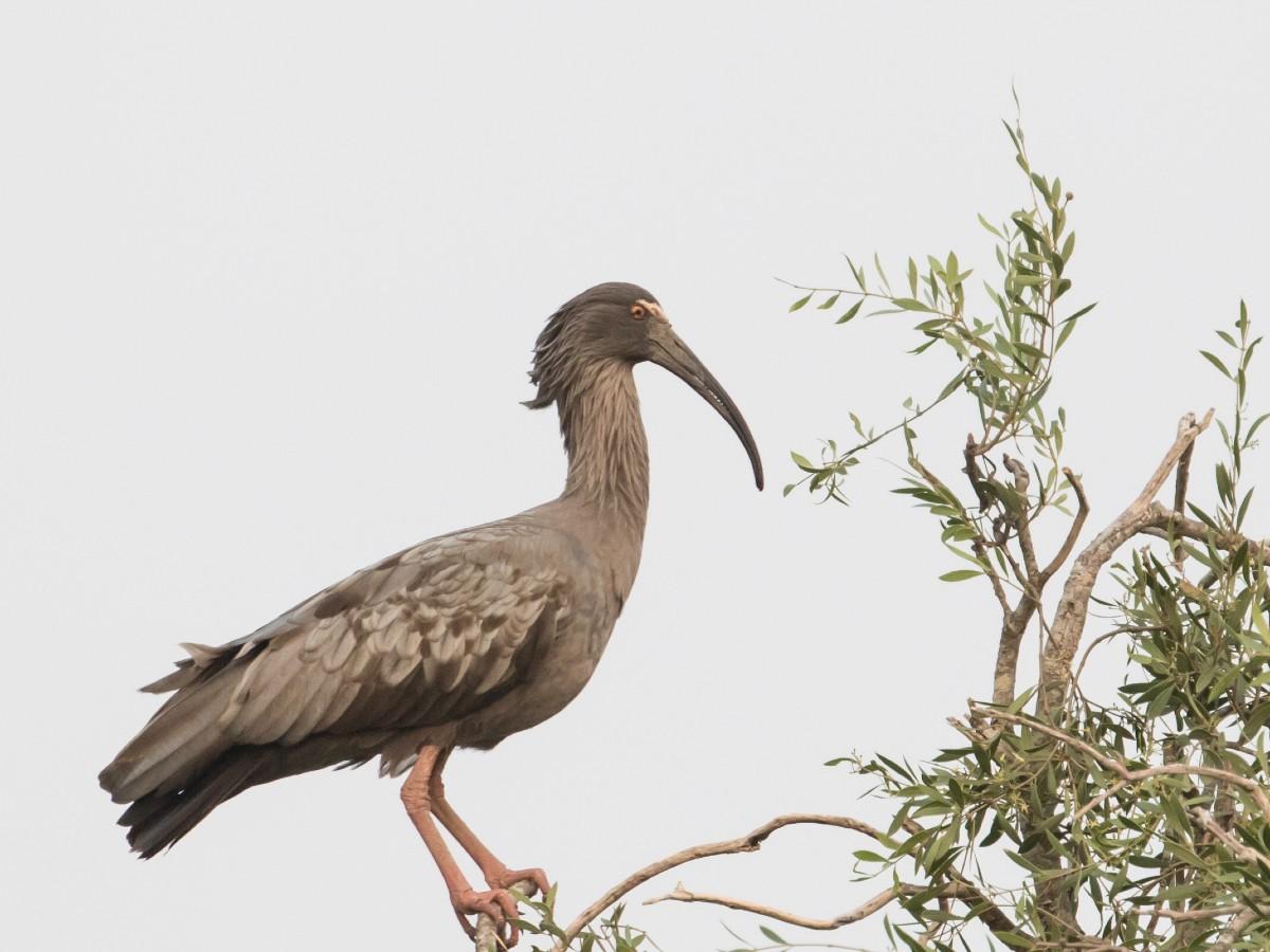 Plumbeous Ibis_© John Sterling