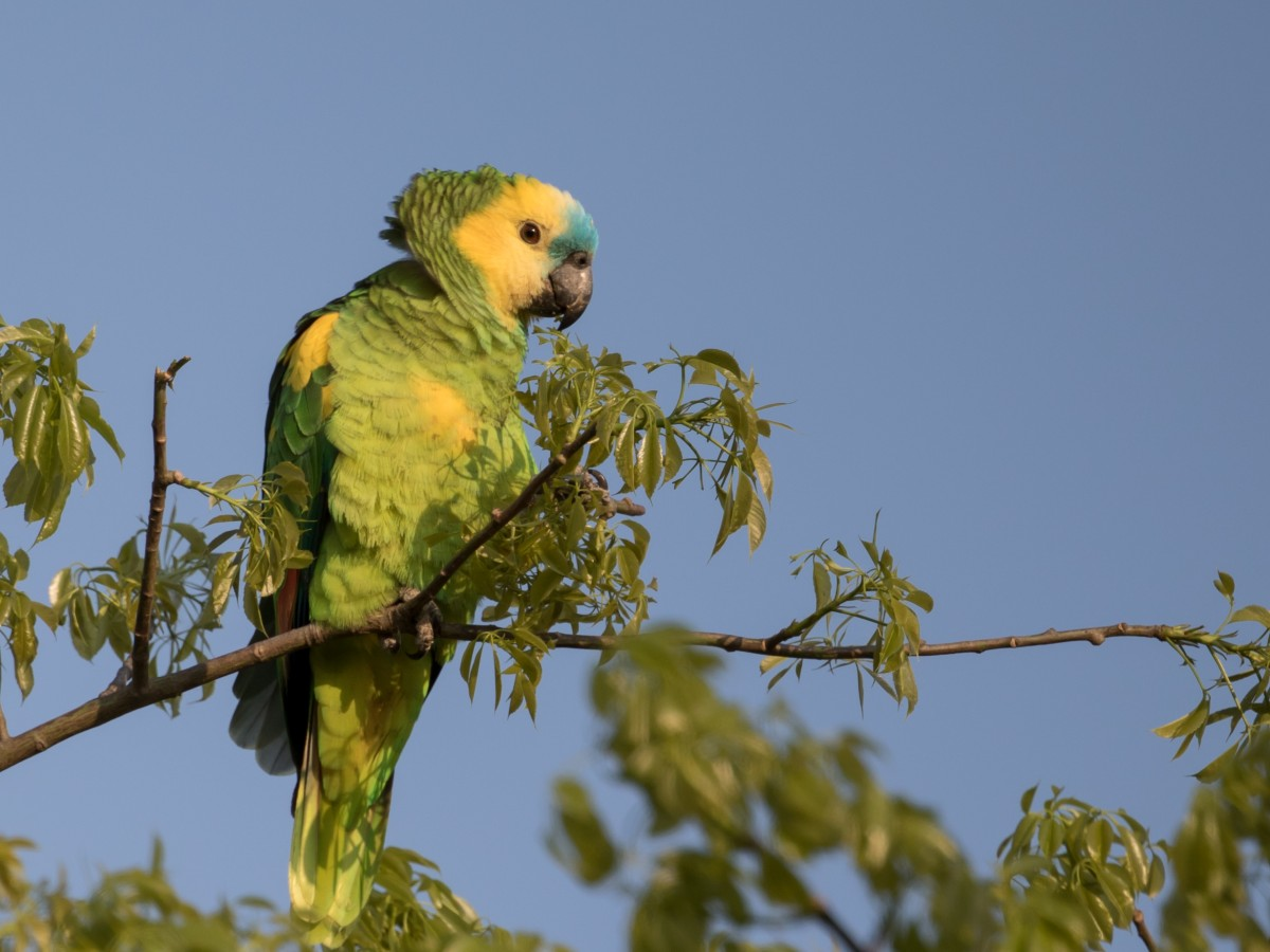 Turquoise-fronted Parrot_© John Sterling
