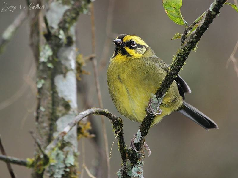 Yellow-striped Brush-Finch, Argentine endemic_© Jorge La Grotteria