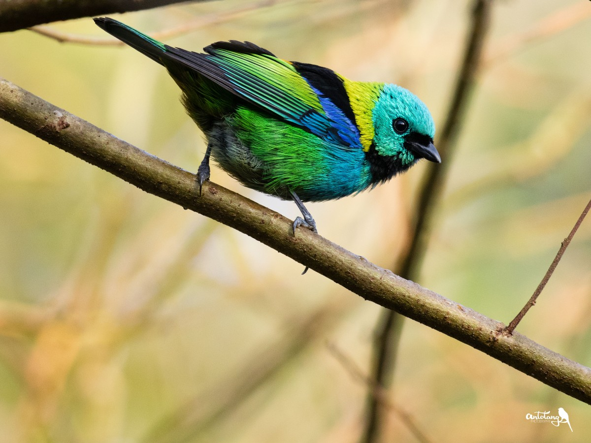 Green-headed Tanager_© Antotang