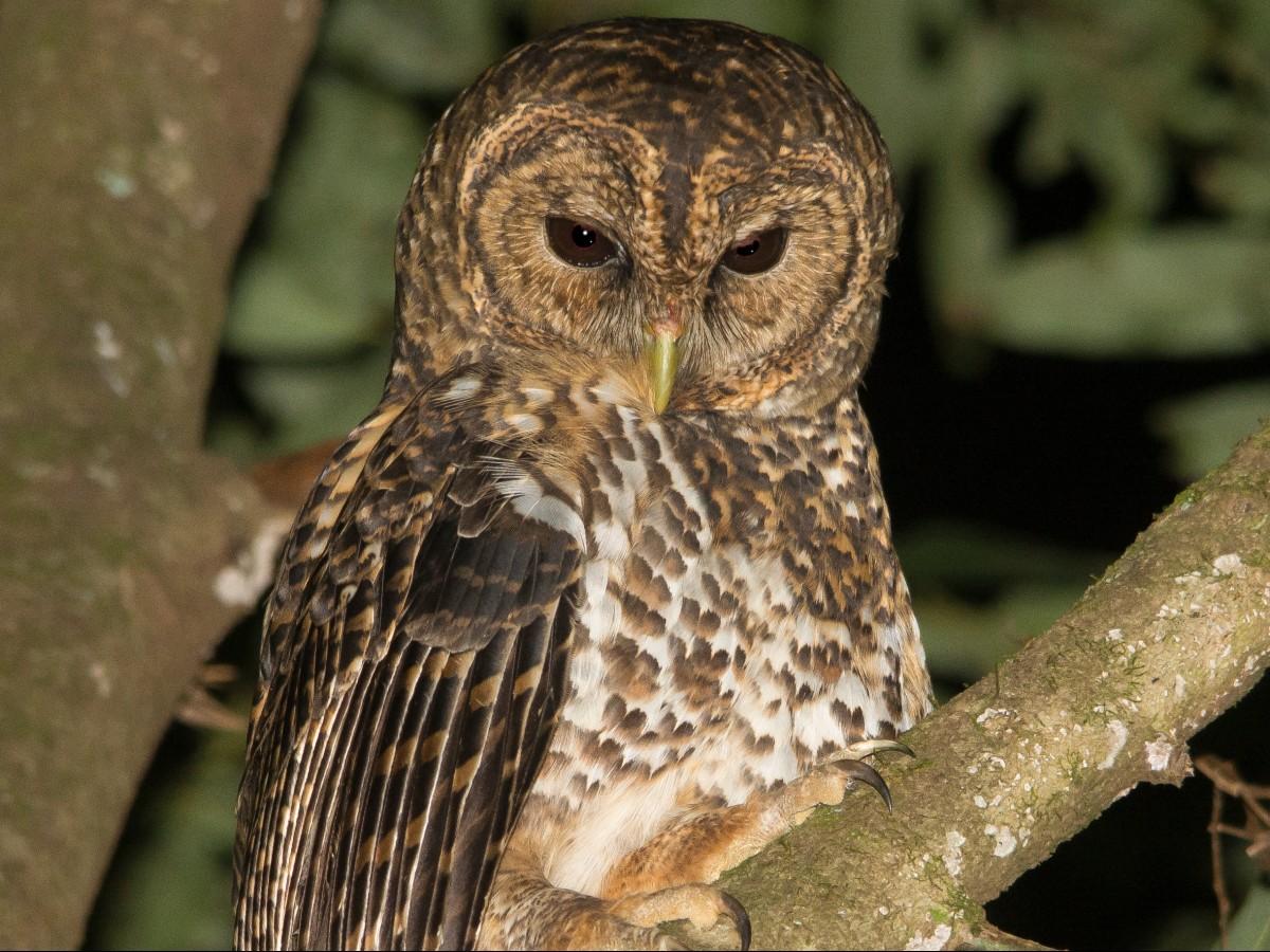 Rusty-barred Owl_© Marcelo Wioneczak