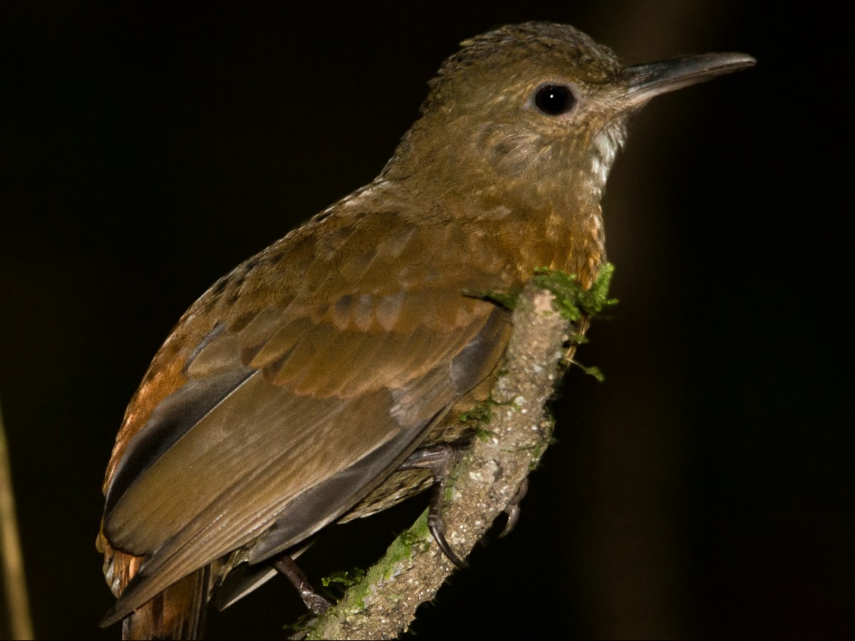 Rufous-breasted Leaftosser_© Marcelo Wioneczak